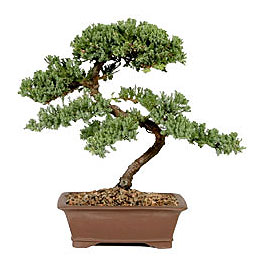 Bonsai tree from basicbonsai.com